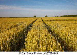 campo-trigo-camino-por-rural-foto-almacenada_csp37524149